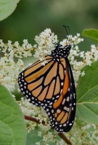 20140904 Monarch 4-7