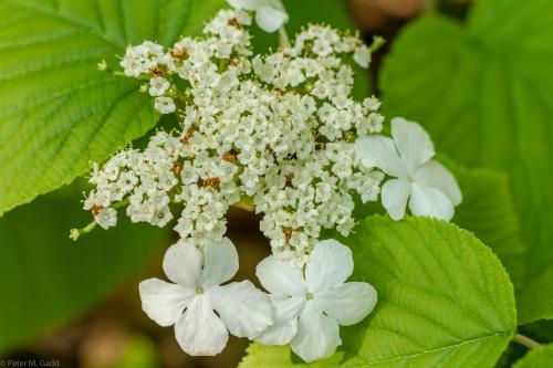 20150606 Plants of Breau Creek - Acadian Forest-5 copy