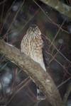 sharp shinned hawk1