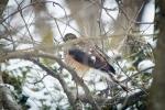 sharp shinned hawk2