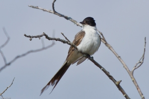 20130516 MM Fork-tailed Flycatcher-34