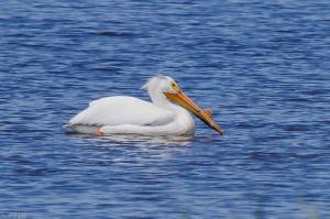 20130622 American White Pelican, Tabusintac NB 3-61