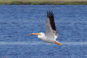 20130622 American White Pelican, Tabusintac NB 3-79