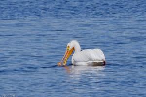 20130622 American White Pelican, Tabusintac NB 4-70