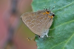 20130716 striped hairstreak 1 r