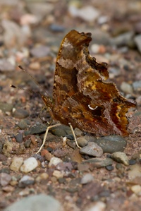20130904 Oromocto Eastern Comma (2)