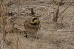 20141123 kouchibouguac n p horned lark4