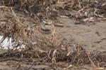 20141123 kouchibouguac n p horned lark7