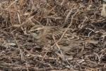 20141123 kouchibouguac n p horned lark8