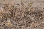 20141123 kouchibouguac n p horned lark9