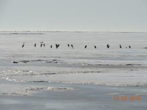 Great Blue Herons on saltmarsh at Hay Island, photo by Aldo Dorio, Apr 13, 2015,016,jpg