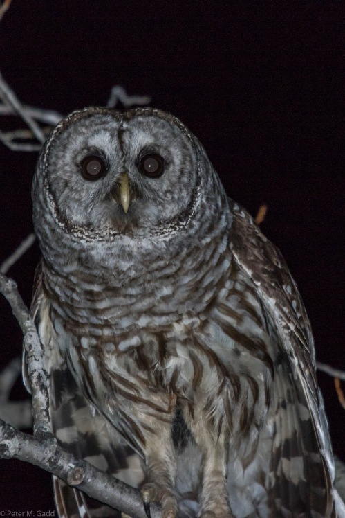 20150402 Barred Owl Rte 435