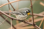 20151120 yellow throated warbler13