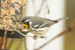 20151120 yellow throated warbler5