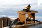 red bellied woodpecker male with male evening grosbeak at derby photo by laura comeau jan 142016
