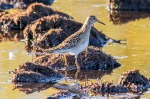 20171005 miramichi marsh pectoral sandpiperr