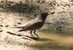 american robin at thewaterhole