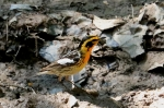 blackburnian warbler 2
