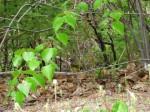 mourning warbler at hay island rosemonde duguay photo jun 62020