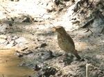 ovenbird at waterhole9