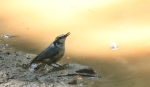 red breasted nuthatch at thewaterhole