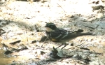yellow rumped warbler at the waterhole5