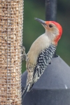 20201018 male red bellied woodpecker manny dr2